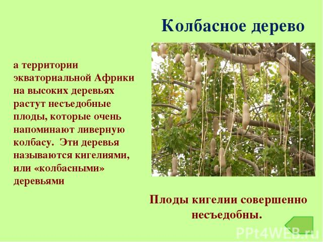 Колбасное дерево На территории экваториальной Африки на высоких деревьях растут несъедобные плоды, которые очень напоминают ливерную колбасу. Эти деревья называются кигелиями, или «колбасными» деревьями Плоды кигелии совершенно несъедобны.
