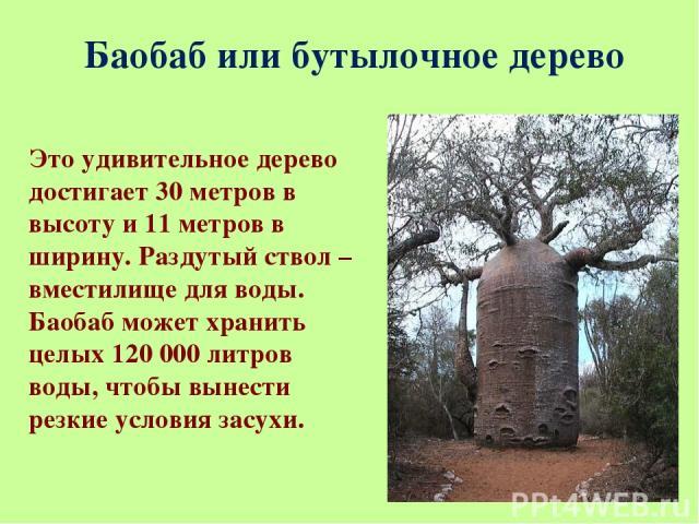 Баобаб или бутылочное дерево Это удивительное дерево достигает 30 метров в высоту и 11 метров в ширину. Раздутый ствол – вместилище для воды. Баобаб может хранить целых 120 000 литров воды, чтобы вынести резкие условия засухи.