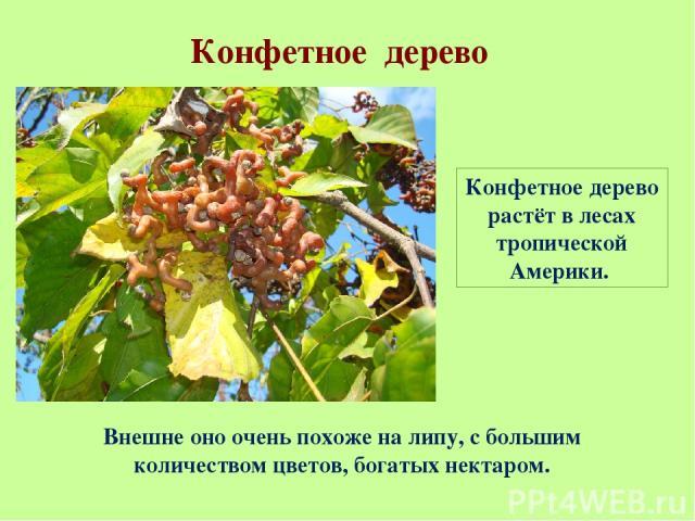 Конфетное дерево Конфетное дерево растёт в лесах тропической Америки. Внешне оно очень похоже на липу, с большим количеством цветов, богатых нектаром.
