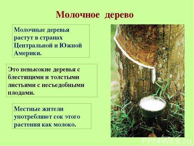 Молочное дерево Молочные деревья растут в странах Центральной и Южной Америки. Это невысокие деревья с блестящими и толстыми листьями с несъедобными плодами. Местные жители употребляют сок этого растения как молоко.