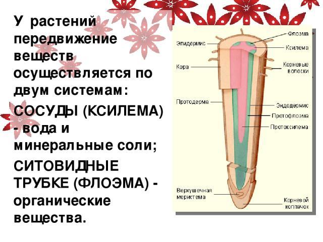 У растений передвижение веществ осуществляется по двум системам: СОСУДЫ (КСИЛЕМА) - вода и минеральные соли; СИТОВИДНЫЕ ТРУБКЕ (ФЛОЭМА) - органические вещества.