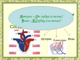 Органы кровеносной системы Сердце Сосуды Предсердия Желудочки Артерии Вены Капил