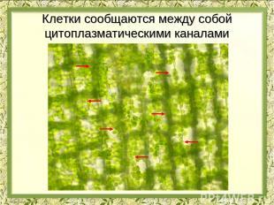 Клетки сообщаются между собой цитоплазматическими каналами