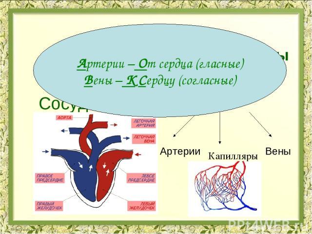 Органы кровеносной системы Сердце Сосуды Предсердия Желудочки Артерии Вены Капилляры Артерии – От сердца (гласные) Вены – К Сердцу (согласные)