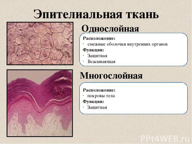 Эпителиальная ткань Однослойная Многослойная Расположение: смежные оболочки внутренних органов Функции: Защитная Всасывающая Расположение: покровы тела Функции: Защитная