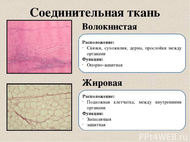 Соединительная ткань Волокнистая Жировая Расположение: Связки, сухожилия, дерма, прослойки между органами Функции: Опорно-защитная Расположение: Подкожная клетчатка, между внутренними органами Функции: Запасающая защитная