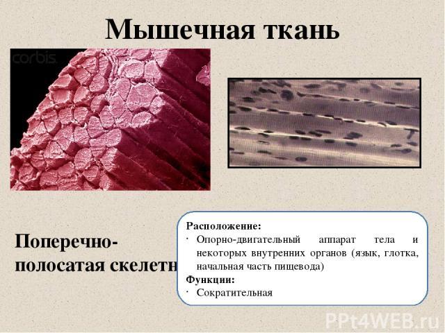 Мышечная ткань Поперечно-полосатая скелетная Расположение: Опорно-двигательный аппарат тела и некоторых внутренних органов (язык, глотка, начальная часть пищевода) Функции: Сократительная