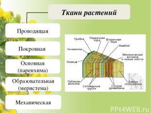 Ткани растений Проводящая Покровная Основная (паренхима) Образовательная (мерист