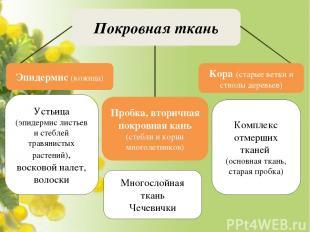 Покровная ткань Устьица (эпидермис листьев и стеблей травянистых растений), воск