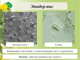 Водные и болотные растения Эндосперм Видоизменения корня и стебля Паренхима лубя