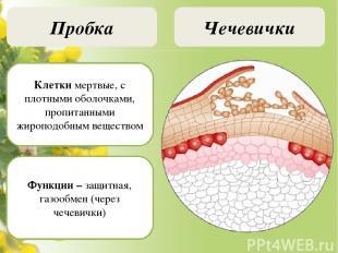 Образовательная ткань (меристема) Камбий Меристемы верхушечные, боковые, вставоч