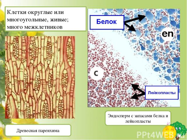 http://www.thej-files.com/news/158/993/part-6/ - http://dic.academic.ru/pictures/ntes/137-2.jpg - ксилема http://bugs.bio.usyd.edu.au/- Школа биологических наук, университет Сиднея http://www.sakhalin.ru/boomerang/Drevesnue/images/fakt/stat/stat-(16…
