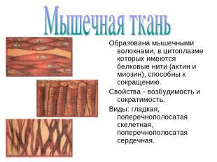 Образована мышечными волокнами, в цитоплазме которых имеются белковые нити (акти