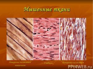 Мышечные ткани Поперечно-полосатая мышечная Гладкая Поперечно-полосатая сердечна