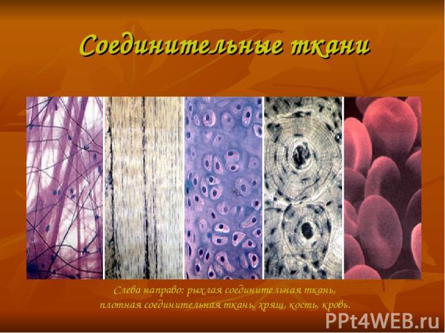 Соединительные ткани Слева направо: рыхлая соединительная ткань, плотная соединительная ткань, хрящ, кость, кровь.