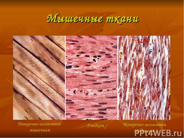 Мышечные ткани Поперечно-полосатая мышечная Гладкая Поперечно-полосатая сердечная