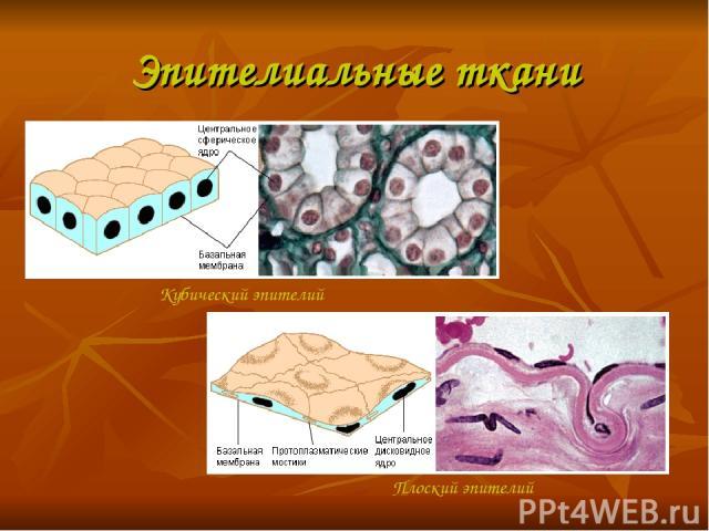 Эпителиальные ткани Кубический эпителий Плоский эпителий