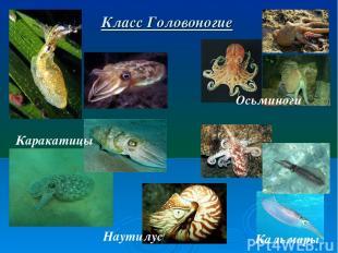 Класс Головоногие Каракатицы Осьминоги Кальмары Наутилус