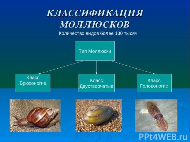 КЛАССИФИКАЦИЯ МОЛЛЮСКОВ Количество видов более 130 тысяч Тип Моллюски Класс Брюхоногие Класс Двустворчатые Класс Головоногие