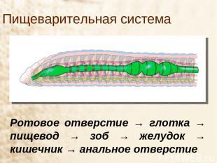 Пищеварительная система Ротовое отверстие → глотка → пищевод → зоб → желудок → к
