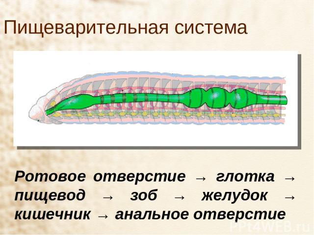 Пищеварительная система Ротовое отверстие → глотка → пищевод → зоб → желудок → кишечник → анальное отверстие
