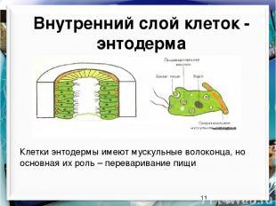 Внутренний слой клеток - энтодерма Клетки энтодермы имеют мускульные волоконца,