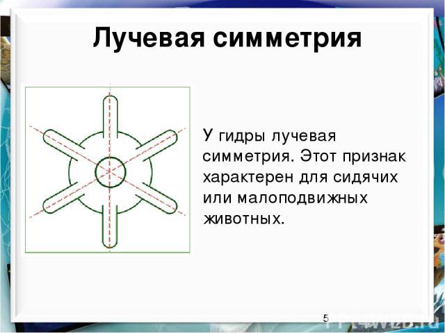 Лучевая симметрия У гидры лучевая симметрия. Этот признак характерен для сидячих или малоподвижных животных.