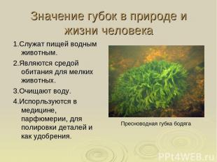 Значение губок в природе и жизни человека 1.Служат пищей водным животным. 2.Явля