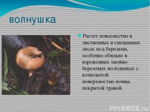 волнушка Растет повсеместно в лиственных и смешанных лесах под березами, особенн