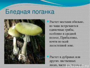 Бледная поганка Растет местами обильно, но чаще встречаются одиночные грибы, осо
