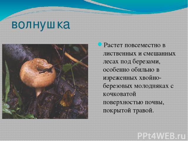 волнушка Растет повсеместно в лиственных и смешанных лесах под березами, особенно обильно в изреженных хвойно-березовых молодняках с кочковатой поверхностью почвы, покрытой травой.