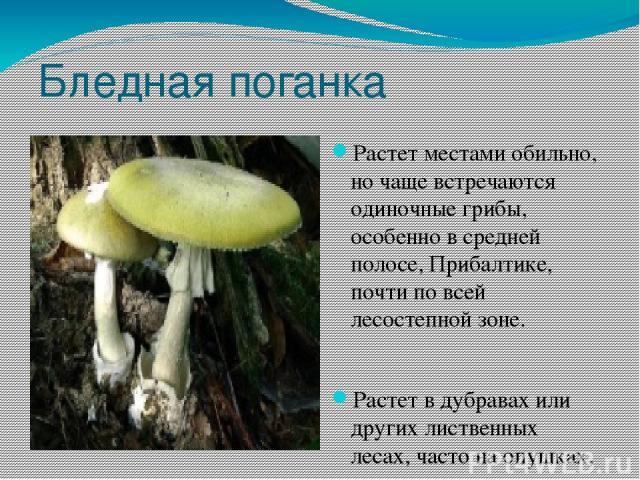 Бледная поганка Растет местами обильно, но чаще встречаются одиночные грибы, особенно в средней полосе, Прибалтике, почти по всей лесостепной зоне. Растет в дубравах или других лиственных лесах, часто на опушках, просеках, с июня по октябрь. Гриб см…