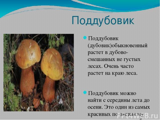 Поддубовик Поддубовик (дубовик)обыкновенный растет в дубово-смешанных не густых лесах. Очень часто растет на краю леса. Поддубовик можно найти с середины лета до осени. Это один из самых красивых по внешнему виду и расцветки грибов средней полосы.
