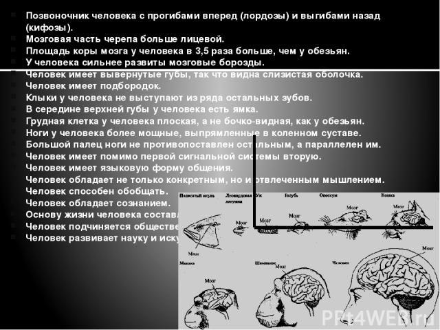 Позвоночник человека с прогибами вперед (лордозы) и выгибами назад (кифозы). Мозговая часть черепа больше лицевой. Площадь коры мозга у человека в 3,5 раза больше, чем у обезьян. У человека сильнее развиты мозговые борозды. Человек имеет вывернутые …