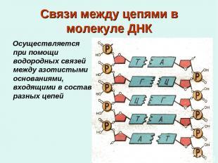 Связи между цепями в молекуле ДНК Осуществляется при помощи водородных связей ме