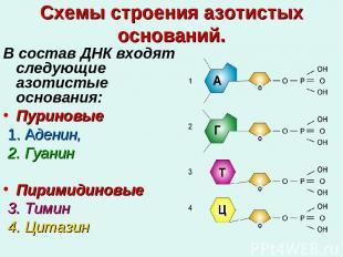 Схемы строения азотистых оснований. В состав ДНК входят следующие азотистые осно