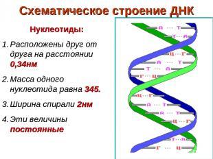 Схематическое строение ДНК Нуклеотиды: Расположены друг от друга на расстоянии 0