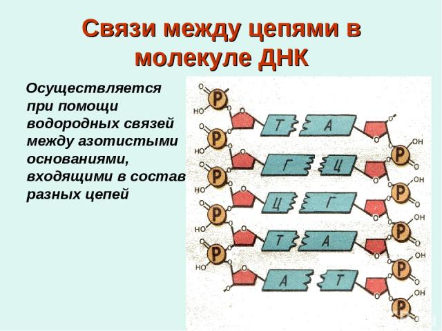 Связи между цепями в молекуле ДНК Осуществляется при помощи водородных связей между азотистыми основаниями, входящими в состав разных цепей
