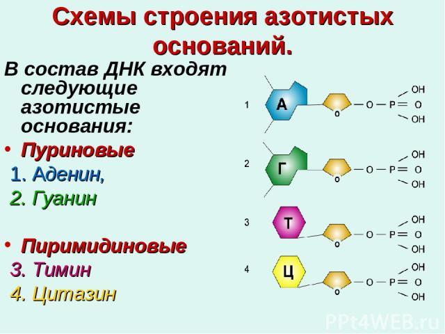 Схемы строения азотистых оснований. В состав ДНК входят следующие азотистые основания: Пуриновые 1. Аденин, 2. Гуанин Пиримидиновые 3. Тимин 4. Цитазин