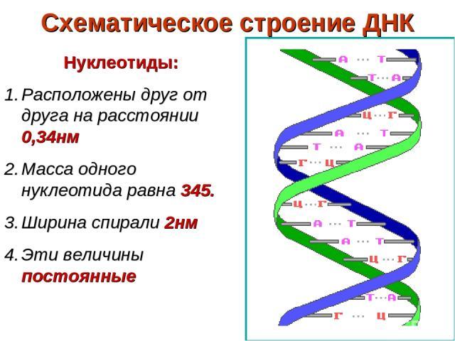 Схематическое строение ДНК Нуклеотиды: Расположены друг от друга на расстоянии 0,34нм Масса одного нуклеотида равна 345. Ширина спирали 2нм Эти величины постоянные