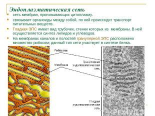 Эндоплазматическая сеть сеть мембран, пронизывающих цитоплазму. связывает органо