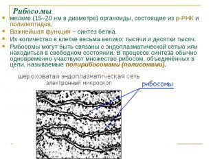 Рибосомы мелкие (15–20нм в диаметре) органоиды, состоящие из р-РНК и полипептид