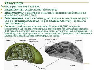 Пластиды Только в растительных клетках. Хлоропласты, осуществляют фотосинтез. Хр