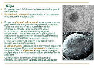 Ядро По размерам (10–20мкм) являясь самой крупной из органелл. Важнейшей функци