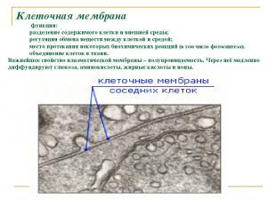Клеточная мембрана функции: разделение содержимого клетки и внешней среды; регул