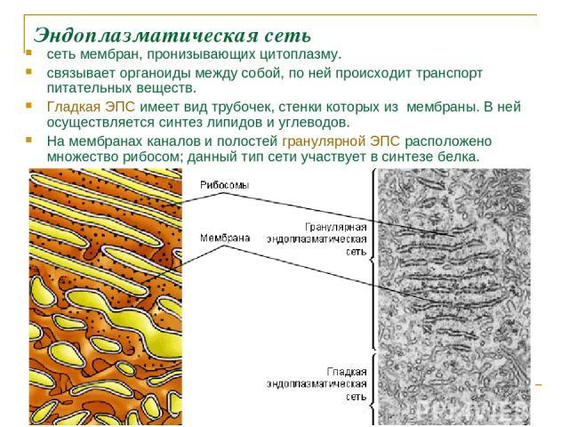Эндоплазматическая сеть сеть мембран, пронизывающих цитоплазму. связывает органоиды между собой, по ней происходит транспорт питательных веществ. Гладкая ЭПС имеет вид трубочек, стенки которых из мембраны. В ней осуществляется синтез липидов и углев…