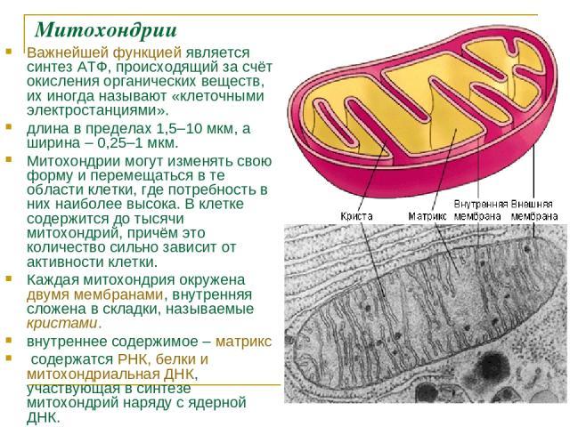 Митохондрии Важнейшей функцией является синтез АТФ, происходящий за счёт окисления органических веществ, их иногда называют «клеточными электростанциями». длина в пределах 1,5–10мкм, а ширина – 0,25–1мкм. Митохондрии могут изменять свою форму и пе…