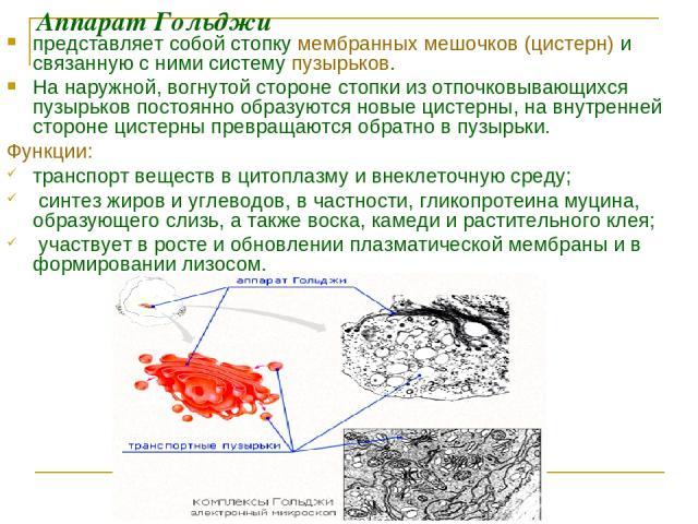 Аппарат Гольджи представляет собой стопку мембранных мешочков (цистерн) и связанную с ними систему пузырьков. На наружной, вогнутой стороне стопки из отпочковывающихся пузырьков постоянно образуются новые цистерны, на внутренней стороне цистерны пре…