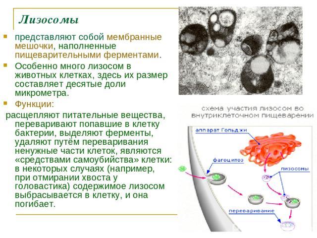 Лизосомы представляют собой мембранные мешочки, наполненные пищеварительными ферментами. Особенно много лизосом в животных клетках, здесь их размер составляет десятые доли микрометра. Функции: расщепляют питательные вещества, переваривают попавшие в…