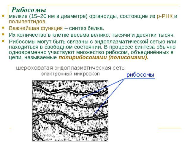 Рибосомы мелкие (15–20нм в диаметре) органоиды, состоящие из р-РНК и полипептидов. Важнейшая функция – синтез белка. Их количество в клетке весьма велико: тысячи и десятки тысяч. Рибосомы могут быть связаны с эндоплазматической сетью или находиться…